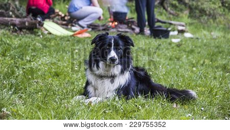A Border Collie Sitting On The Grass In The Forest At Hiking Travel