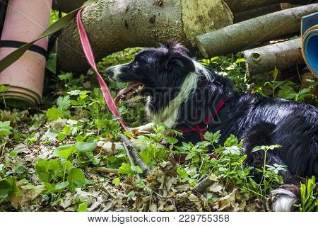 A Border Collie Rest Near The Wooden Logs In The Forest At Hiking Travel