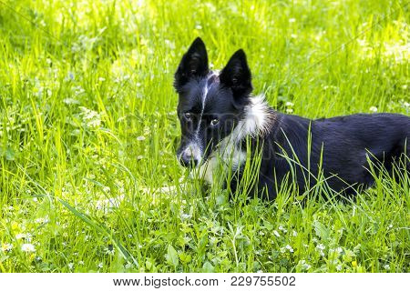 A Border Collie Sitting On The Grass