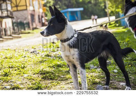 Close-up Of A Border Collie On The Country Street