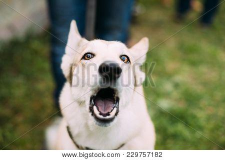 Young White Husky Eskimo Dog Barking In Green Grass.