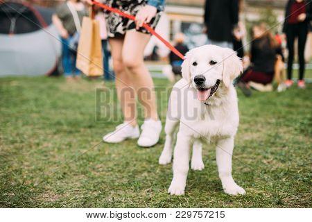 Beautiful White Dog Labrador Puppy Whelp Standing Near Woman In Green Grass.