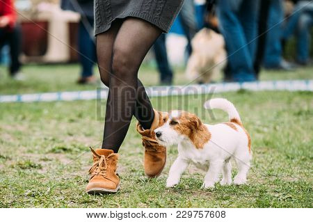 White And Red Young Rough Coated Jack Russell Terrier Dog Running Near Woman In Green Grass During T