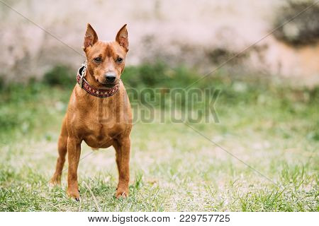 Red Brown Miniature Pinscher Pincher Min Pin Zwergpinscher Dog Standing On Green Grass.