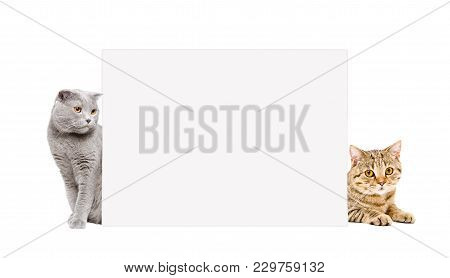 Two Cats Scottish Fold And Scottish Straight Peeking From Behind A Banner, Isolated On White Backgro