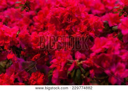 Small Red Flowers For A Holiday Bouquet And Decoration.