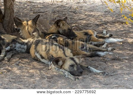 Wild Dogs  Having Rest In Kruger National Park