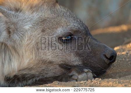 Young Hyena Having Rest In Kruger National Park