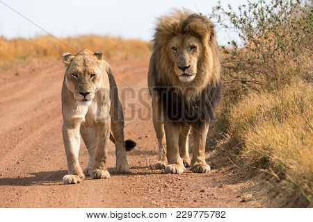 A Couple Of Lions In South Africa