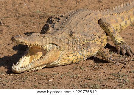 Crocodile In Kruger National Park South Africa