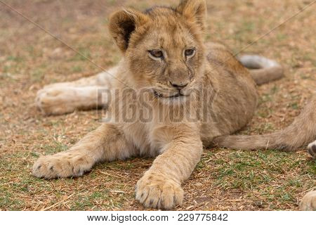 A Young Lion Cub In South Africa
