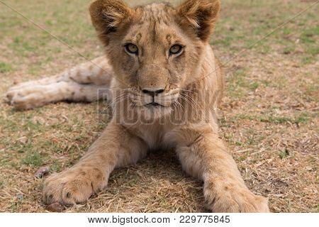 A Young Lion Cub Kruger National Park