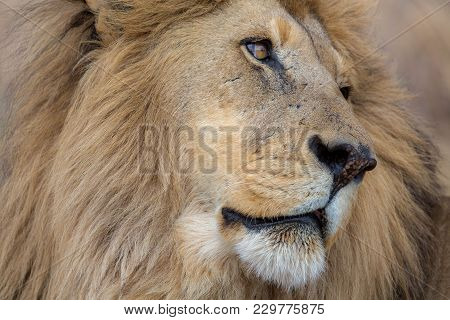 Portrait Of A Lion Kruger South Africa