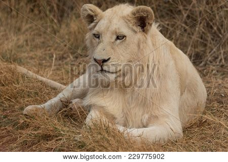 White Lion Lying On The Grass South Africa
