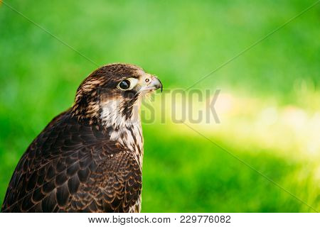 Peregrine Falcon - Falco Peregrinus, Also Known As The Peregrine, And Historically As The Duck Hawk