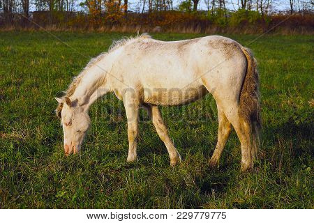 Dirty Wild White Horse Eating Grass. The Herd Unattended In Nature.