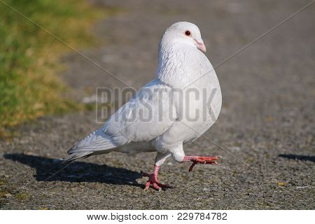 An Albino Pigeon Strutting His Stuff Performing A Courtship Display To A Female