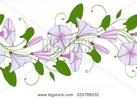 Seamless Pattern Of White And Pink Convolvulus. Garland With Bindweed Flowers. Morning-glory Tender