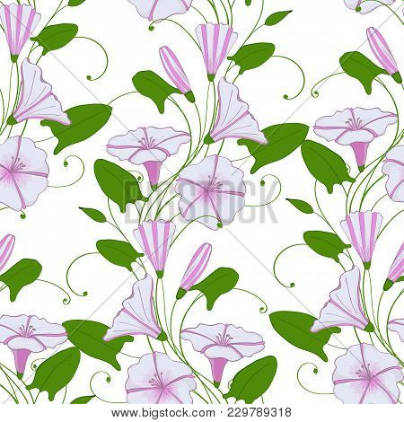 Floral Elegant Background Convolvulus. Seamless Tender Pattern Flower Bindweed. Morning-glory Endles