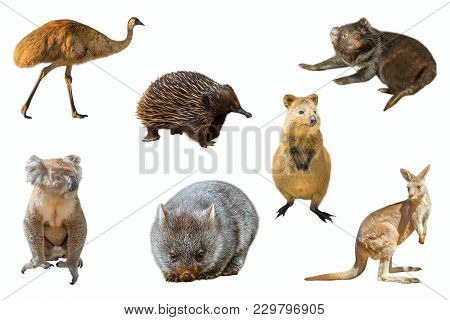 Collage Of Australian Animals, Isolated On White Background. The Emu, Echidna, Tasmanian Devil, Womb