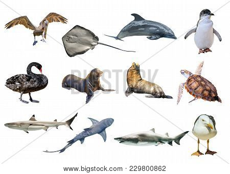 Collage Of Australian Animals, Isolated On White Background. Pelican, Seagull, Penguin, Black Swan,