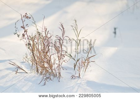 Withered Grass Out From Under The Snow Cover.