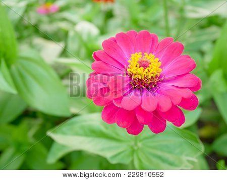 Pink Zinnia Flower Blooming In The Garden. Copy Space.