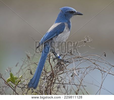 Endangered Florida Scrub-jay Perched On Shrub In Florida, Usa