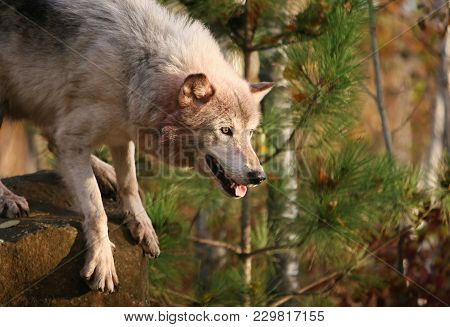 Close Up Image Of A Gray Wolf, Or Timber Wolf