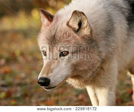 Close Up, Head And Shoulders Image Of A Gray Wolf