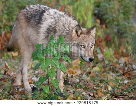 Close Up Image Of A Gray Wolf
