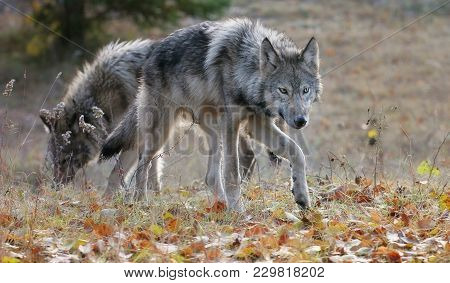 Young Gray Wolves In An Autumn Setting.  Captive Animals.