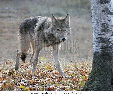 Young, Gray Wolf In An Autumn Setting.