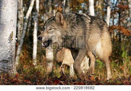Close Up Image Of A Gray Wolf, Or Timber Wolf.  Captive Animal