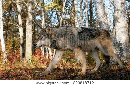 Close Up, Profile Image Of A Gray Wolf, With Autumn Background.  Animal In Captivity