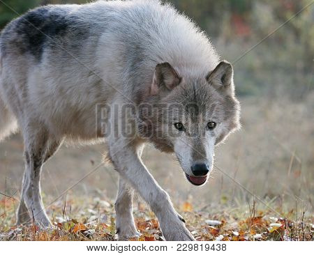 Close Up Image Of A Gray Wolf Looking Toward The Camera.  Captive Animal