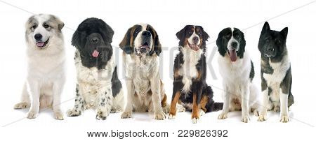 Group Of Large Dogs In Front Of White Background