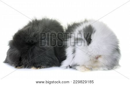 Lop-eared  Rabbits In Front Of White Background
