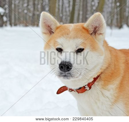 Head Of A Dog Of Breed  Akita Inu In A Red Collar In A Winter Forest Or Park. Muzzle In The Snow Aft