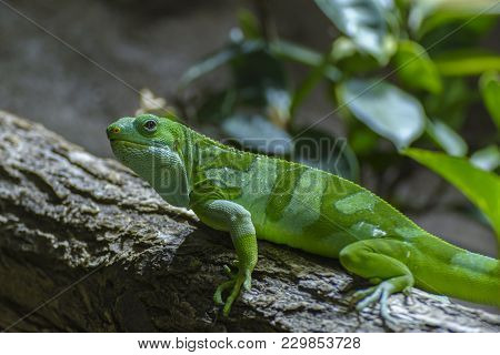 The Fiji Banded Iguana Is An Arboreal Species Of Lizard Endemic To Some Of The Southeastern Fijian I