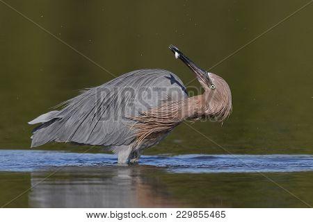 Reddish Egret (egretta Rufescens) Subduing A Small Fish - Pinellas County, Florida