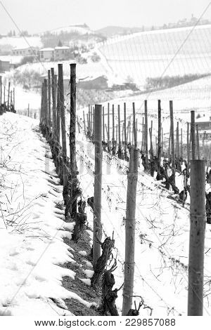 Winter View Of Vineyards In The Hilly Region Of Langhe (in The Southern Area Of Piemonte Region, Nor