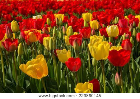 Spring Blooming Tulip Field. Flowers Tulips, The Symbol Of The Netherlands. Red And Yellow Tulips In