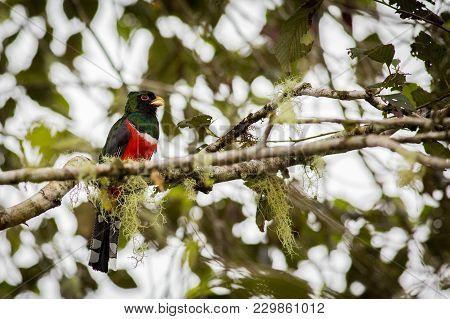 Close Up Of A Masked Trogon Perching On A Branch In The Rainforest, Ecuador. Wildlife Scene From Nat