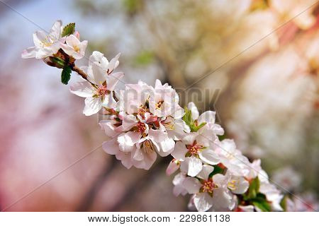 White Blossoms On The Branch On Natural Blurry Background During Spring Blooming . Branch With Sakur
