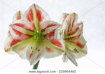 Unusual And Beautiful Red, White And Green Amaryllis Blooms Look Like Christmas.