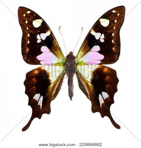 Purple spotted swallowtail (Graphium weiskei) is a swallowtail butterfly living in the mountains of New Guinea. Isolated on white