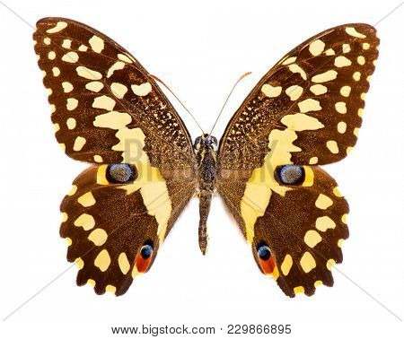Citrus swallowtail (Papilio demodocus) is a brown and yellow butterfly living in Sub-Saharan Africa. Isolated on white
