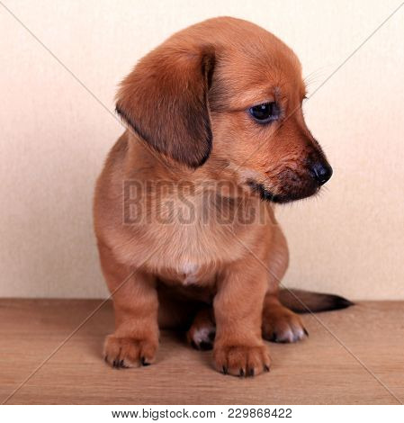 Beautiful Puppy Of A Dachshund, Cute Dachshund Puppy, Square Image