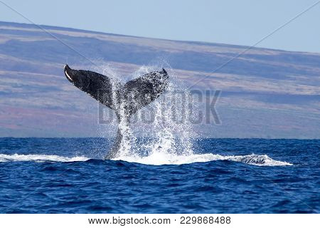 Close Up Humpback Whale Tail With Water Flying Off As Whale Slaps Surface Of Ocean